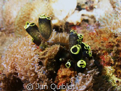 Sea Squirt, C7070, Olympus by Jun Quiblat