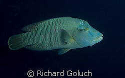 """Abbah"" Napoleon Wrasse in Palau by Richard Goluch"