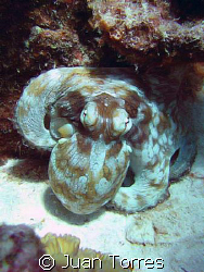 Common octopus.  Taken in Bonaire, Canon S70.  by Juan Torres
