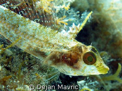 Female threefin blenny caught in June when sexual dimorph... by Dejan Mavric