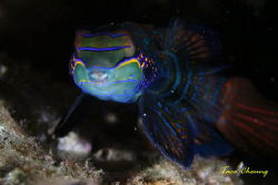 Mandarinfish at Malapascua  by Taco Cheung
