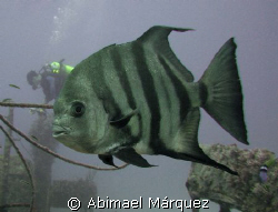 Atlantic Spadefish, JBK Barge, St. Thomas by Abimael Márquez