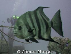 Atlantic Spadefish, JBK Barge, St. Thomas by Abimael Márquez