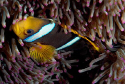 Anemone fish all tucked in. by Andy Lerner