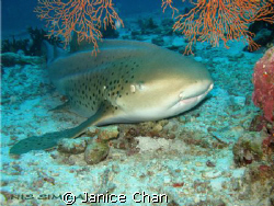 leopard shark taken at almost the end of a dive - Similan... by Janice Chan