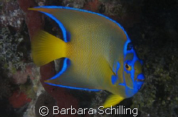 Queen Angelfish showing his best side! Taken with a Canon... by Barbara Schilling