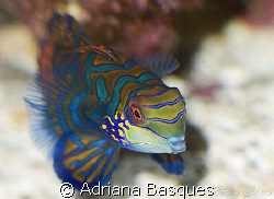 Mandarin fish at Raja Ampat by Adriana Basques