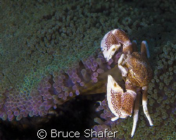 Porcelan Crab.
