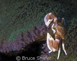 Porcelan Crab. Oly C-8080 by Bruce Shafer