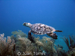 Hawksbill turtle in Patillas, Puerto Rico. by Juan Torres