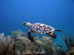 Hawksbill turtle in Patillas, Puerto Rico. by Juan Torres