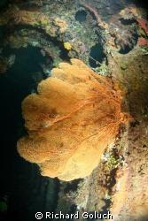 Gorgonian sea fan inside Unkai Maru by Richard Goluch