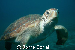 Turtle posing in the Canary Island underwater paradise. by Jorge Sorial
