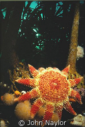 Sunstar at base of kelp forest. St.Abbs. Scotland. by John Naylor