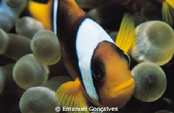 Amphiprion bicinctus (Two-banded anemonefish), Elphinston... by Emanuel Gonçalves