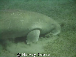 Lunch time for the Dugong by Harvey Reeve