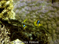 anenome fish by Harvey Reeve