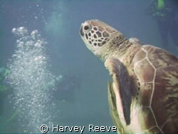 turtle by Harvey Reeve