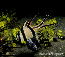 Banggai Cardinalfish. Native to Banggai Island and Lembeh... by Leigh Chapman