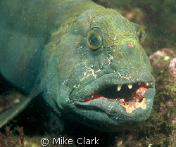 Wild Wolf Fish, St. Abbs Scotland. Nikon f90x with 60mm l... by Mike Clark