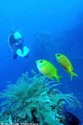 Pair of Coral rabbitfish, Siganus corallinus. Picture tak... by Anouk Houben