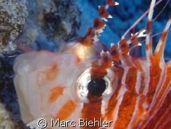 LION FISHE, Bora Bora. Close up. Cybershot Sony T5 by Marc Biehler