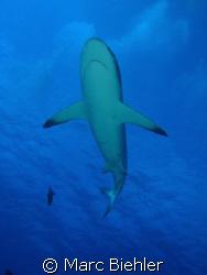 grey shark, Bora Bora. Cybershot Sony T5 by Marc Biehler