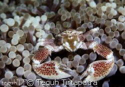Porcelain crab...taken at Bunaken, Manado by Teguh Tirtaputra