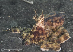 Quintopus - a five-armed mimic octopus. Lembeh. 60mm. by Mark Thomas