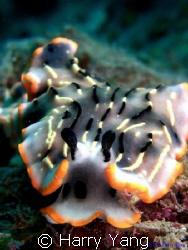 Nudibranchia (Dermatobranchus gonatophora ) CASIO EX-Z10... by Harry Yang