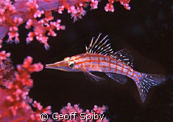 hawkfish amongst the soft coral by Geoff Spiby