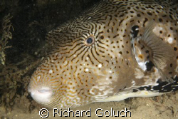 Large Puffer Fish by Richard Goluch