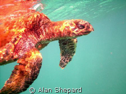 This Hawk Billed Turtle was sick and dying.  I followed i... by Alan Shepard