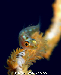 Different angle on a whipcoral goby, taken at Shark Obser... by Nikki Van Veelen