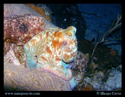 Small Octopus during a night dive. by Margo Cavis