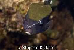 Bluetail trunkfish (Ostracion cyanurus) getting serviced ... by Stephan Kerkhofs
