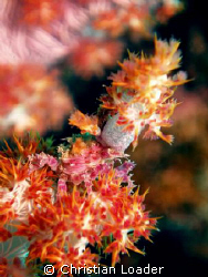 Soft Coral Crab - on the house reef at the resort. This l... by Christian Loader