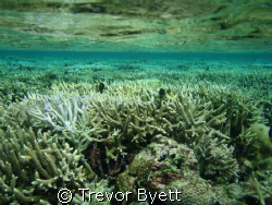 snorkling coral gardens tongatapu  by Trevor Byett