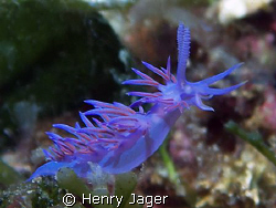 Flabellina from Elba, Italy (Olympus E330, macro lens 50mm) by Henry Jager