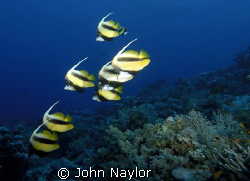 Red sea bannerfish. by John Naylor