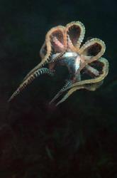 Mimic octopus. by Dray Van Beeck