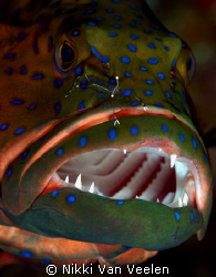 "Grouper receiving the ""the cleaning service"" taken at Cam... by Nikki Van Veelen"