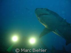 Shooting of a lemon shark, Bora Bora sony cybershot T5 by Marc Biehler