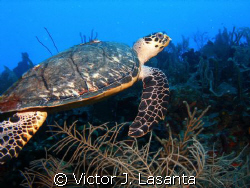 turtle swimming in the blue at v.j.levels dive site in p... by Victor J. Lasanta