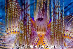 Sea urchin @ Lembeh strait by Adriana Basques