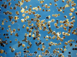 Dice Jellyfishes in Cozumel... by Thierry Lannoy