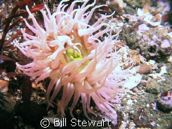 """Bulb Tentacle Anemone"" Photo taken 17 February 2008 duri... by Bill Stewart"
