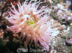 """Bulb Tentacle Anemone"" Photo taken 17 February 2008 duri... by Bill Stewart"