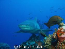 Lemon shark, Bora Bora cybershot T5 by Marc Biehler