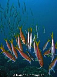 School of goatfish performing the upside down - reddish d... by Ramón Domínguez
